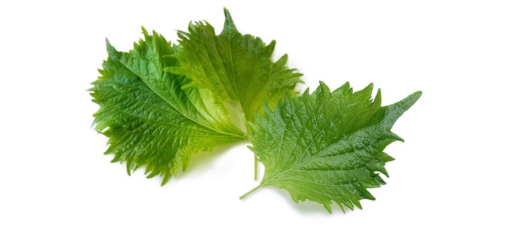 ชิโสะ (Green Shiso) คุณค่าทางโภชนาการที่ให้วิตามินเอ บี ซีสูง