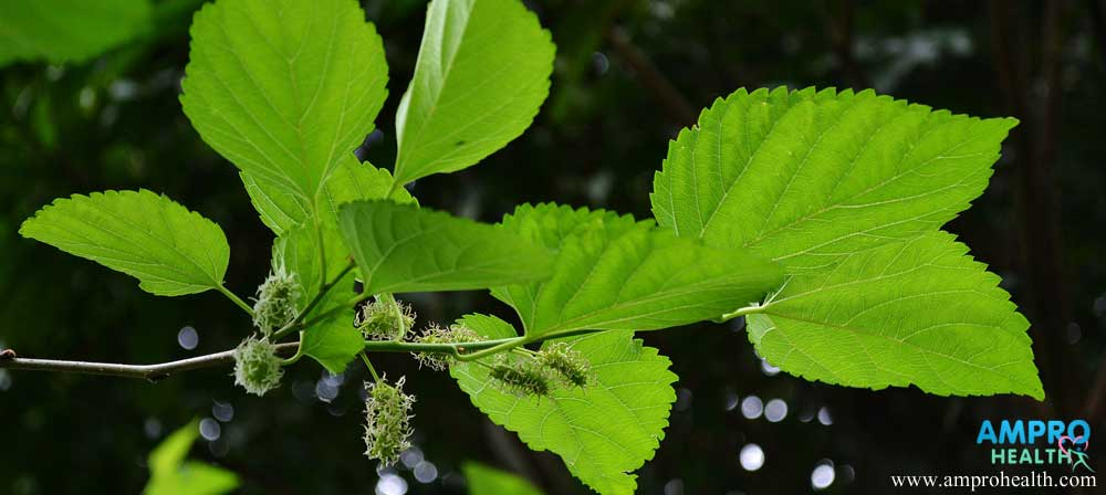 แอนโทไซยานิน-สารสีน้ำเงินเพื่อสุขภาพในมัลเบอร์รี่ (Anthocyanin-Mulberry)