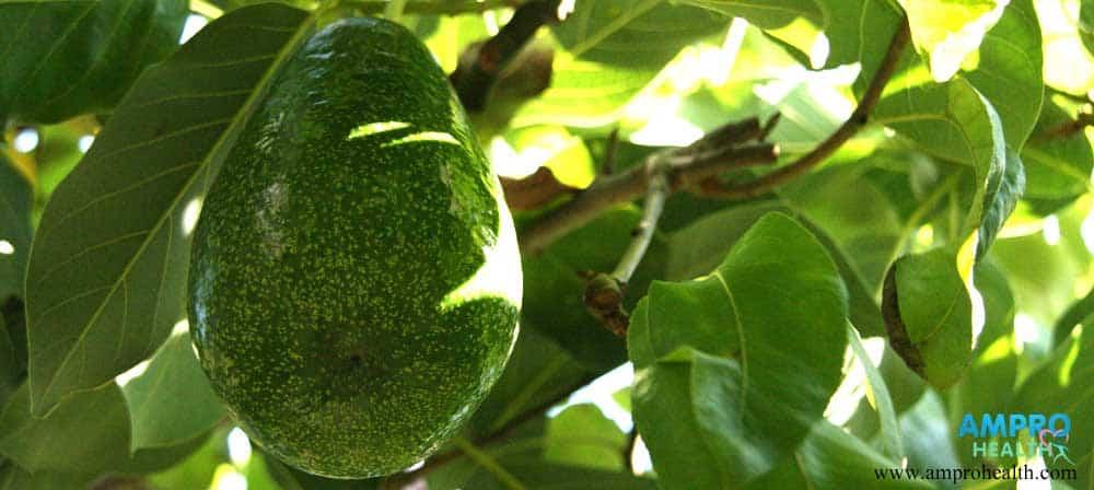 อโวคาโด้ (Avocado)