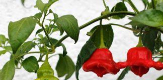 ประโยชน์ของพริกระฆังหรือพริกหวาน (Bell Pepers)