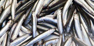 ปลากะตัก ปลาฉิ้งฉ้าง ปลาจิ๊งจั๊ง แอนโชวี่ (Anchovy)