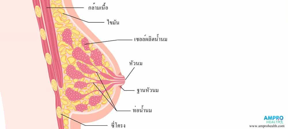 ส่วนประกอบภายในเต้านมของผู้หญิง มีกล้ามเนื้อ ไขมัน ท่อน้ำนม เซลล์ผลิตน้ำนม ฐานนม หัวหัว