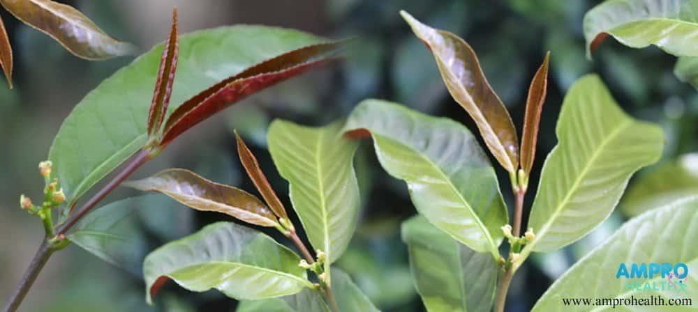 ประโยชน์ของต้นกระบือเจ็ดตัว พืชสมุนไพรโบราณ