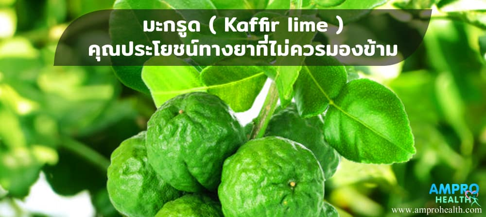 มะกรูด ( Kaffir Lime ) คุณประโยชน์ทางยาที่ไม่ควรมองข้าม